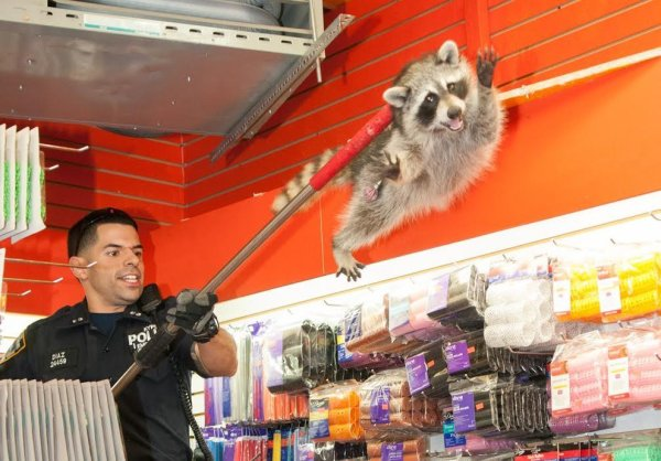 raccoon-photo